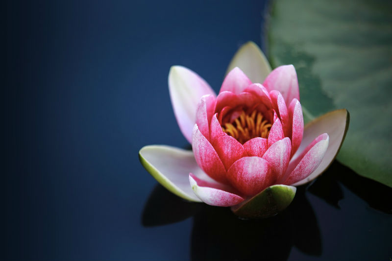 Lotus Benefits Sexual Health